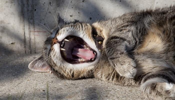 口を大きくあけた猫